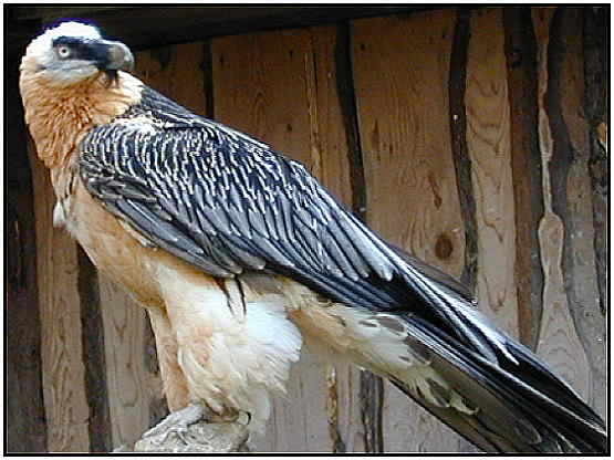 Bearded Vulture (Photograph Courtesy of Erich Mangl Copyright ©2000)