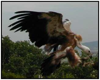 Eurasian Vulture (Photograph Courtesy of Erich Mangl (Copyright �2000)