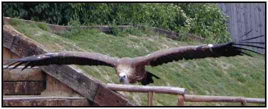 Eurasian Vulture (Photograph Courtesy of Erich Mangl (Copyright ©2000)
