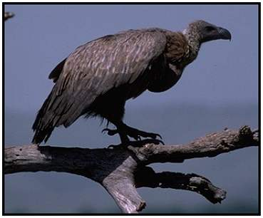 African White-Backed Vulture (Photograph Courtesy Gerald and Buff Corsi, California Academy of Sciences Copyright �2000)