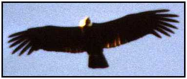 Condor In Flight (Photograph Courtesy of Cliff Buckton Copyright ©2000)