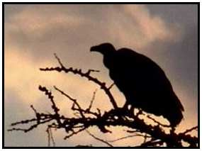 African White-Backed Vulture (Photograph Courtesy of Africam (Copyright ©2000)