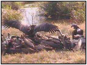 A Mix of Vultures feeds on a Carcass