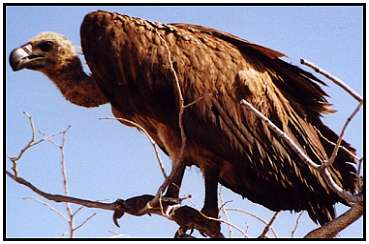 African White-Backed Vulture (Photograph Courtesy of Cliff Buckton (Copyright �2000)