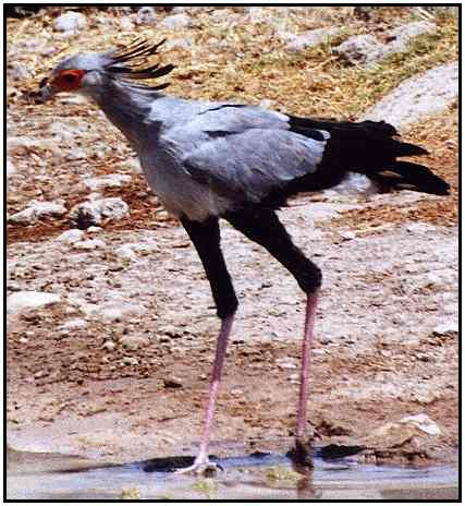 Secretary Bird ((Photograph Courtesy of Cliff Buckton (Copyright �2000)