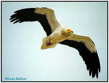 Egyptian Vulture (Photograph Courtesy of Kees Bakker Copyright ©2000)