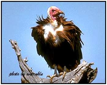 Hooded Vulture (Photograph Courtesy of Bill Strahle (Copyright �2000)