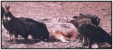 Hooded Vulture (Photograph Courtesy of Cliff Bucton (Copyright �2000)
