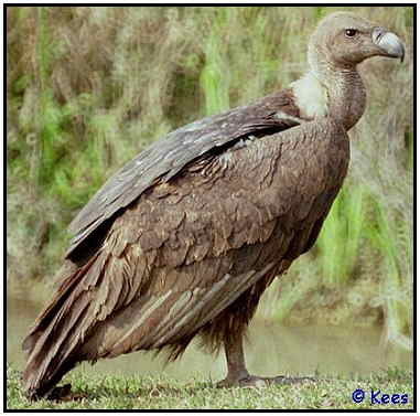Asian White-Backed Vulture (Photograph Courtesy of Kees Bakker Copyright �2000)