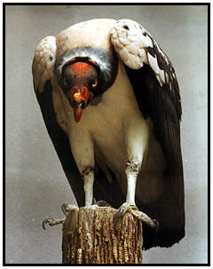 King Vulture (Photograph Courtesy of Lisa Purcell Copyright ©2000)