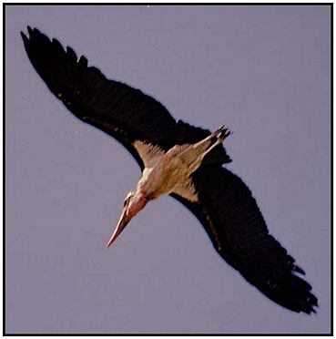 Marabou Stork in Flight (Photograph Courtesy of Ross Warner Photography Copyright �2000)