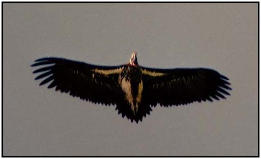 White-Headed Vulture (Photograph Courtesy of Ross Warner Photography Copyright ©2000)