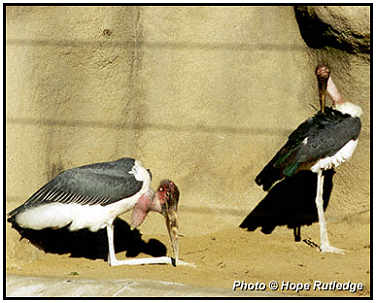 Marabou Storks (Photograph Courtesy of Hope Rutledge Copyright �2000)