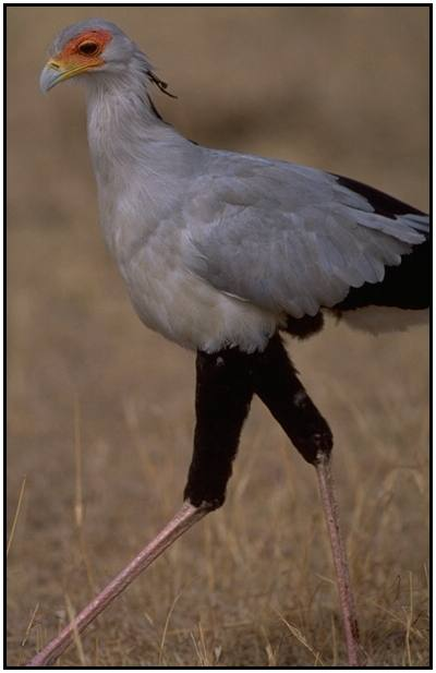 Secretary Bird (Photograph Courtesy Gerald and Buff Corsi, California Academy of Sciences Copyright �2000)