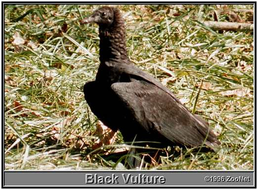 Black Vulture (Photograph Courtesy of ZooNet Copyright ©1996)